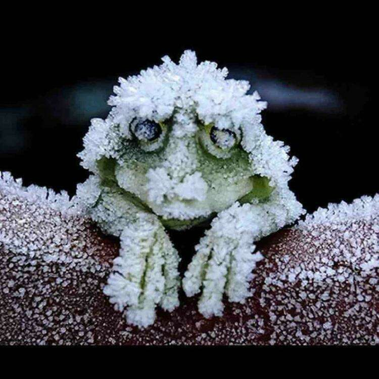 The Alaskan Tree frog freezes solid in the winter, stopping it