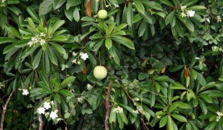 7 самых опасных растений мира