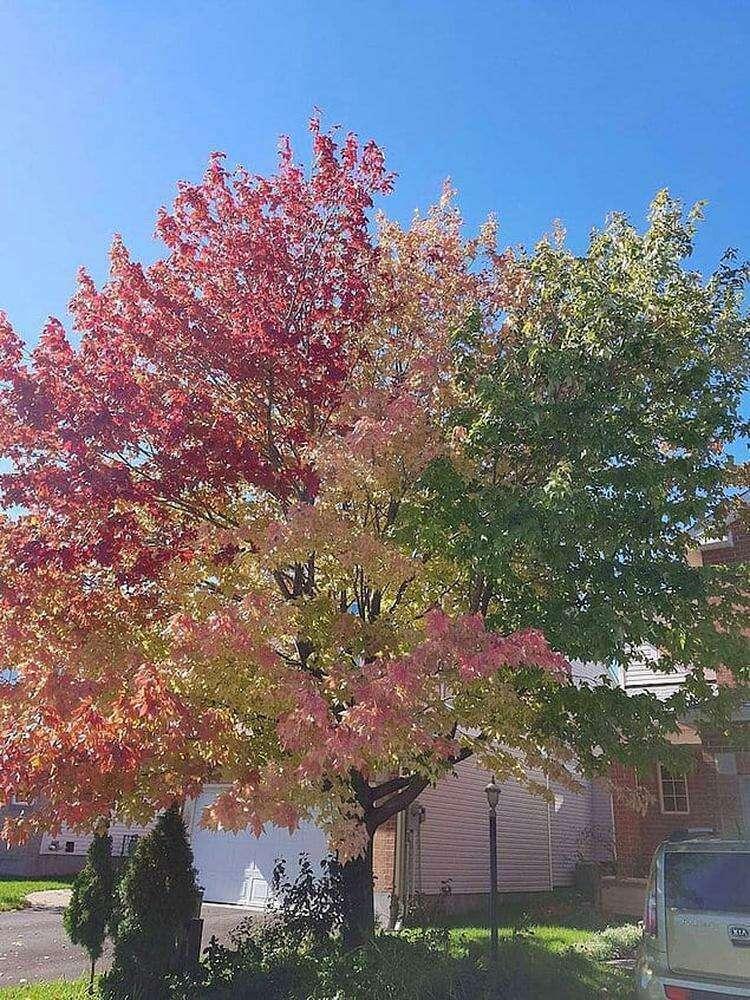 Только одна часть дерева поняла, что осень уже наступила... 🍁