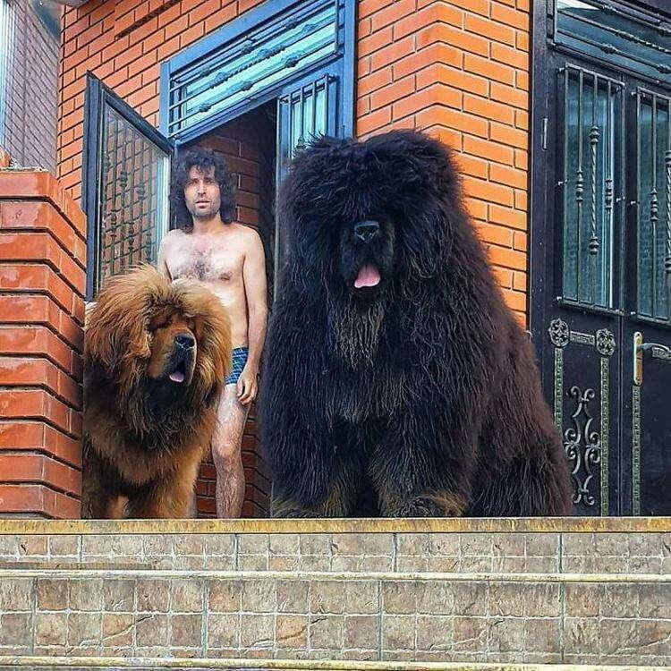 20 величественных фотографий тибетских мастифов, доказывающих, что они нежные гиганты