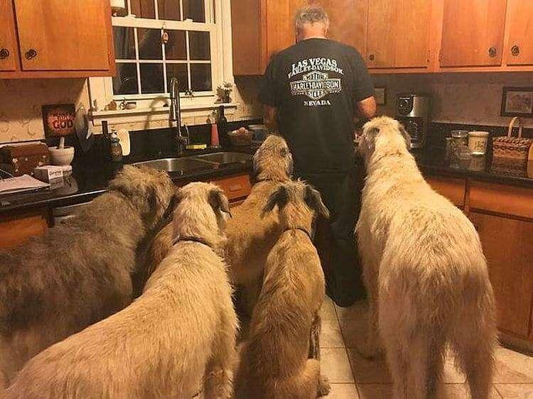 Ирландские волкодавы, оказывается, любят арахисовое масло.