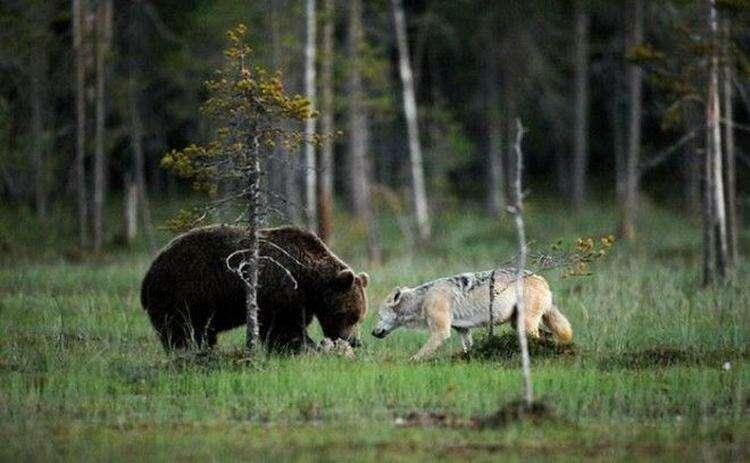 Необычная дружба волчицы и медведя в фотографиях финского фотографа