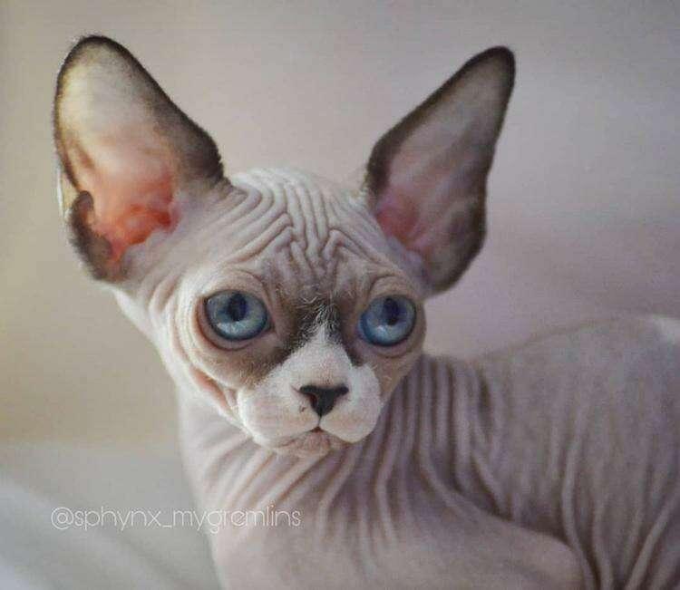 20 фотографий котят сфинксов, которым не нужна шерсть, чтобы покорить ваши сердечки
