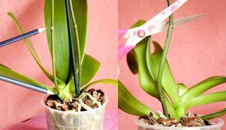 Что делать со стрелкой орхидеи, которая отцвела?
