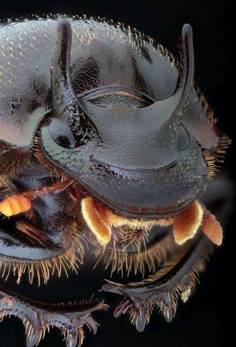 Двурогий навозный жук