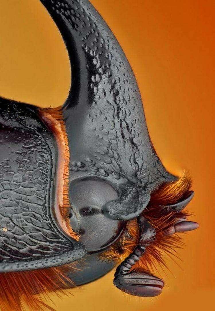 Жук-носорог