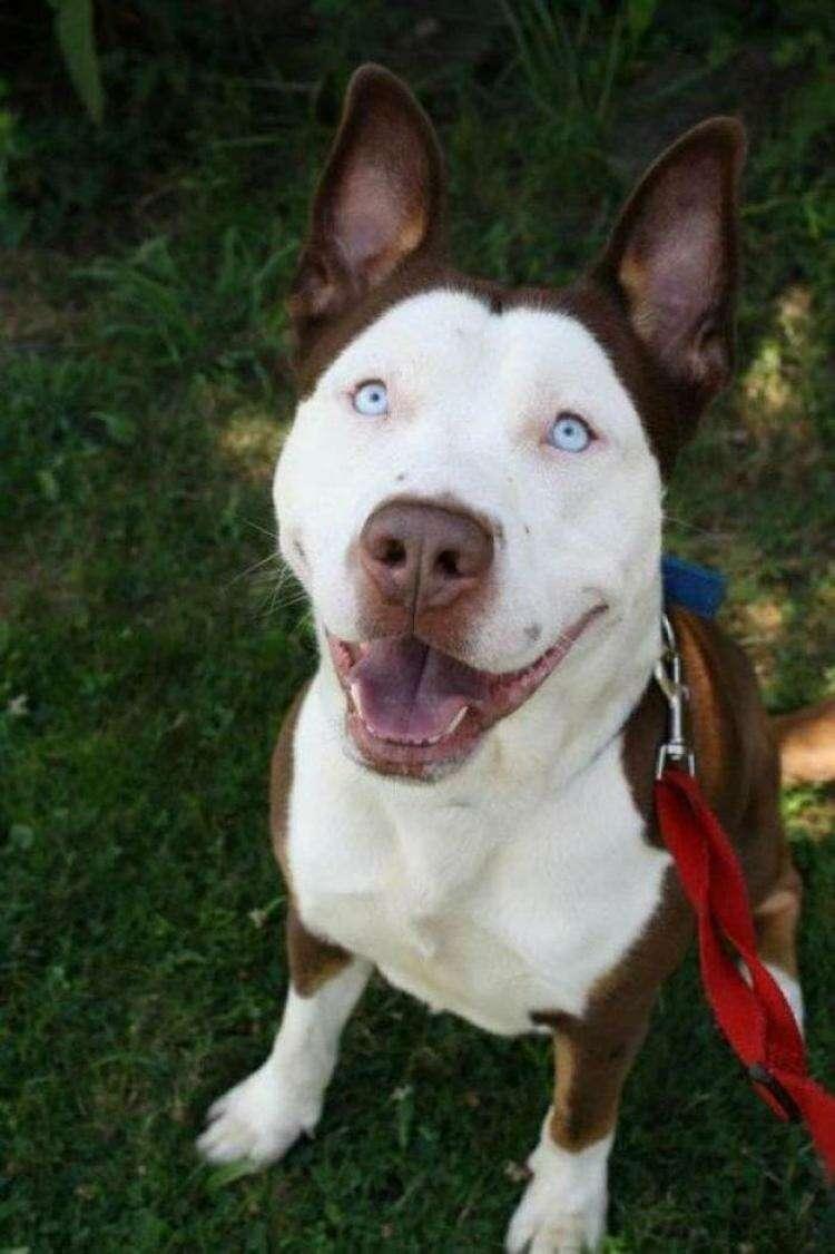 20 очаровательных собак, скрещенных с питбулем, которые разрывают все шаблоны, связанные с этой породой