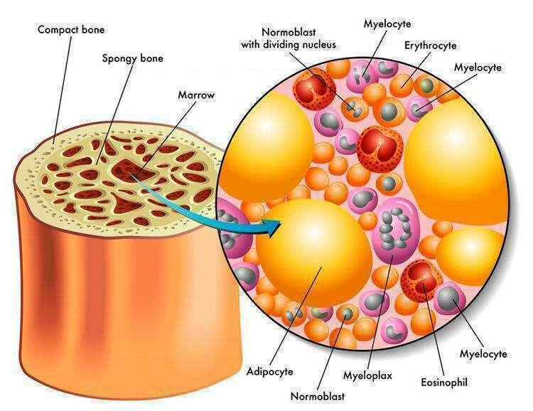 Естественное омоложение костного мозга